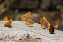 Bruna fjärilar på stenen Royaltyfri Fotografi
