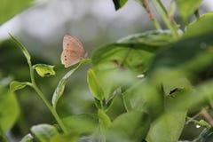 Bruna fjärilar sätta sig på gröna teblad royaltyfri foto