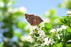 Bruna fjärilar sätta sig på vita blommor och nya gröna tjänstledigheter fotografering för bildbyråer