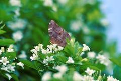 Bruna fjärilar sätta sig på vita blommor och nya gröna tjänstledigheter arkivbilder