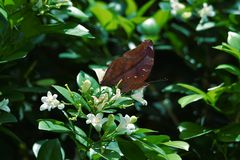 Bruna fjärilar sätta sig på vita blommor och nya gröna tjänstledigheter arkivfoto