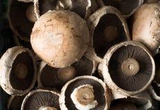 bruna gemensamma ätliga champinjoner Fotografering för Bildbyråer