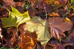 Bruna gräsplan- och gulingsidor Royaltyfri Fotografi