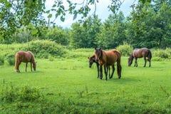 Bruna hästar betar på, naturen, djur värld Arkivfoto