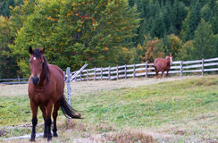 Bruna hästar i ängen royaltyfri bild