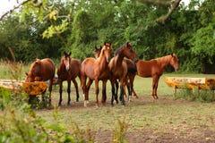 Bruna hästar i ett fält Arkivfoto