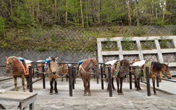 Bruna hästar i ett stall Royaltyfri Foto
