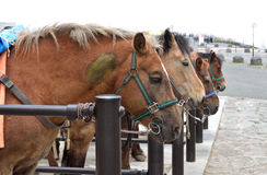 Bruna hästar i ett stall Royaltyfria Bilder
