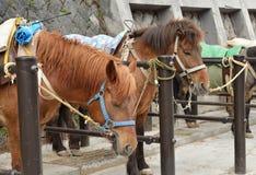 Bruna hästar i ett stall Fotografering för Bildbyråer