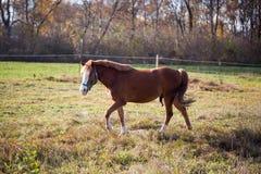 Bruna hästar på en solig dag i automn Royaltyfria Foton