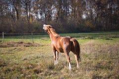 Bruna hästar på en solig dag i automn Arkivfoton