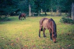 Bruna hästar som betar i skogen Arkivbilder