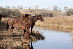 Bruna hästar som dricker från ström Arkivfoton