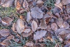 Bruna höstsidor med morgonfrost Arkivfoto