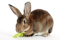 bruna hare Royaltyfria Foton
