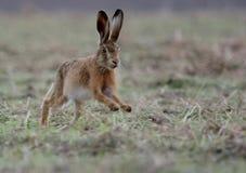 bruna hare Royaltyfria Bilder