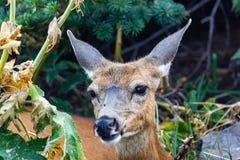 Bruna hjortar i en förgången grön skog som ser kameran fotografering för bildbyråer