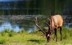 Bruna hjortar med nya horn som söker efter mat i högt gräs Arkivfoto