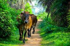 Bruna indiska kor kom fromedjungelvägen royaltyfri bild