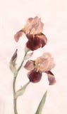 bruna irises som målar watrcolor Arkivfoton
