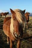Bruna isländska hästar för vänskapsmatch Arkivfoto