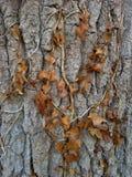 Bruna Ivy Leaves på träd Royaltyfri Fotografi