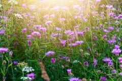 Bruna knapweedäng- och solstrålar, sommarfältlandskap royaltyfria foton