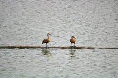 Bruna kulöra fåglar som sitter över vatten arkivfoto