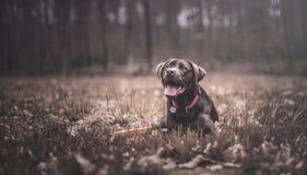 bruna labrador Arkivfoto