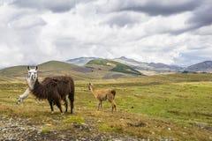 Bruna lamor som äter gräs Arkivfoto