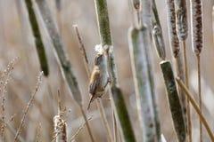 Bruna Marsh Wren royaltyfri bild