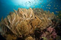 Bruna mjuka koraller Fotografering för Bildbyråer