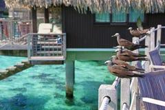 Bruna noddies sätta sig på staketet, Moorea i franska Polynesien royaltyfri bild