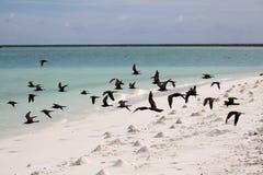Bruna Noody fåglar Arkivfoton