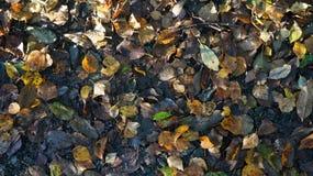 Bruna och gula Autumn Dead Leaves på jordningen i en skog arkivbilder