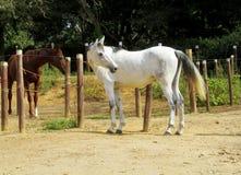 Bruna och vita hästar på lantgård Royaltyfria Bilder
