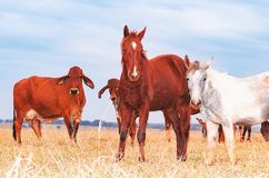Bruna och vita hästar som är blandade på flocken av kor Royaltyfri Bild