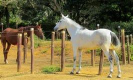 Bruna och vita hästar som står i pennan Royaltyfri Fotografi