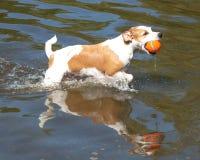 Bruna och vita Jack Russell Terrier i vatten med bollen Royaltyfria Bilder