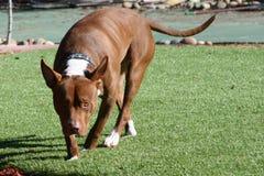 Bruna och vita Pitbull som går på gräs Royaltyfri Bild
