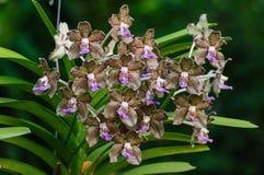 Bruna orkidéblommor Royaltyfria Foton
