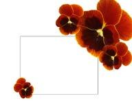 bruna pansies Royaltyfri Fotografi