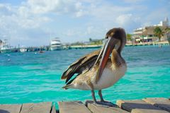 Bruna pelikan över en träpir i Puerto Morelos i det karibiska havet bredvid det tropiska paradiset seglar utmed kusten Royaltyfri Foto