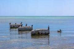 Bruna pelikan Florida Royaltyfri Bild