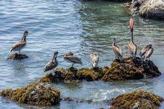 Bruna pelikan (Pelecanusoccidentalis) sätta sig på en vagga royaltyfri bild