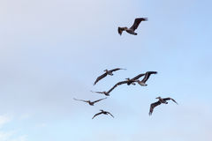 Bruna pelikan & x28; Pelecanusoccidentalis& x29; Royaltyfri Bild