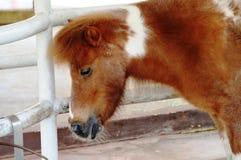 Bruna Pony Closeup Royaltyfria Bilder