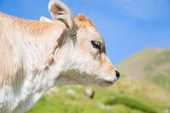 Bruna Pyrenees Image stock