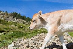 Bruna Pyrenees Stock Photography