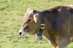 Bruna schweizare föder upp kon som betar på alpina lutningar royaltyfria foton